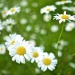 Gänseblümchen, Wildkräuter Lexikon für Grüne Smoothies