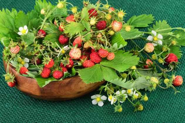 Wald-Erdbeeren frisch gesammelt