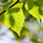 Birke, Wildkräuter Lexikon für Grüne Smoothies