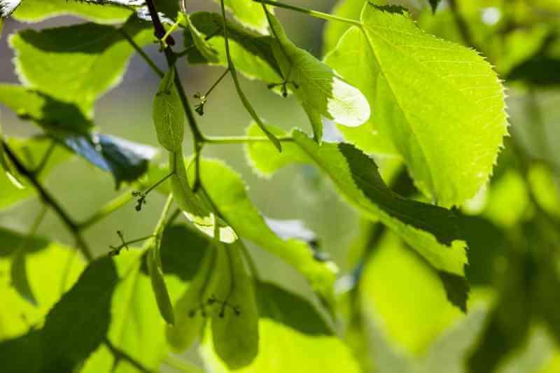 Linde für Grüne Smoothies