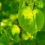 Linde, Wildkräuter Lexikon für Grüne Smoothies