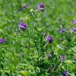 Luzerne, Wildkräuter für grüne Smoothies