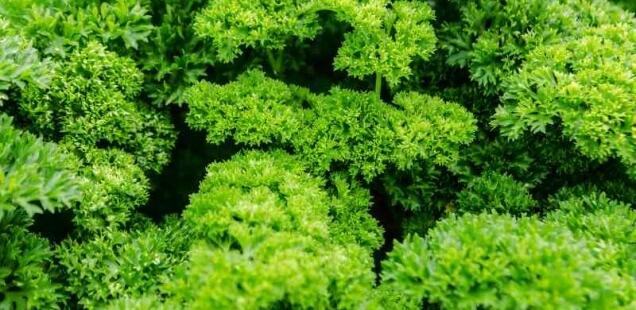 Petersilie, Wildkräuter für grüne Smoothies
