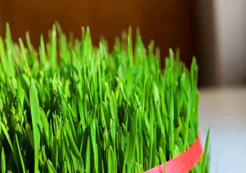 Gerstengras für grüne Smoothies