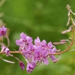 Weidenröschen für grüne Smoothies mit Wildkräutern