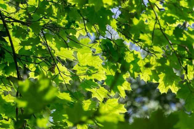 Ahorn, Wildkräuter für grüne Smoothies