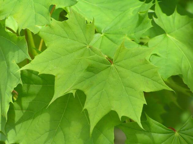 Ahornblätter für grüne Smoothies