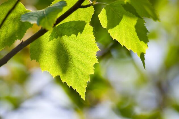 Birke - Baumblätter für grüne Smoothies