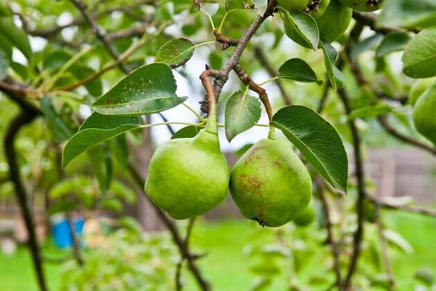 Birne - Baumblätter für grüne Smoothies