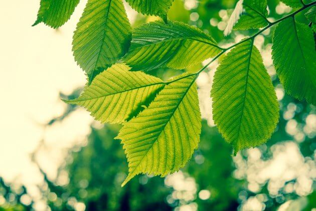 Buche - Baumblätter für grüne Smoothies