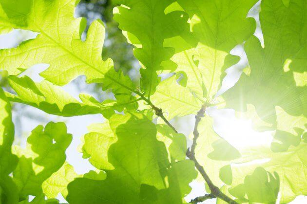 Eiche - Baumblätter für grüne Smoothies
