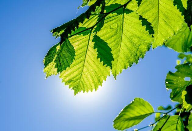 Erle - Baumblätter für grüne Smoothies