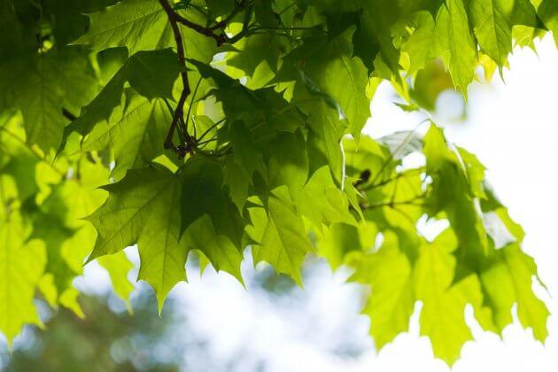 Esche - Baumblätter für grüne Smoothies