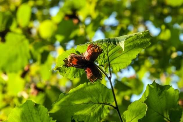 Haselnuss - Blätter für grüne Smoothies