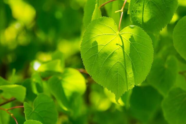 Linde - Baumblätter für grüne Smoothies