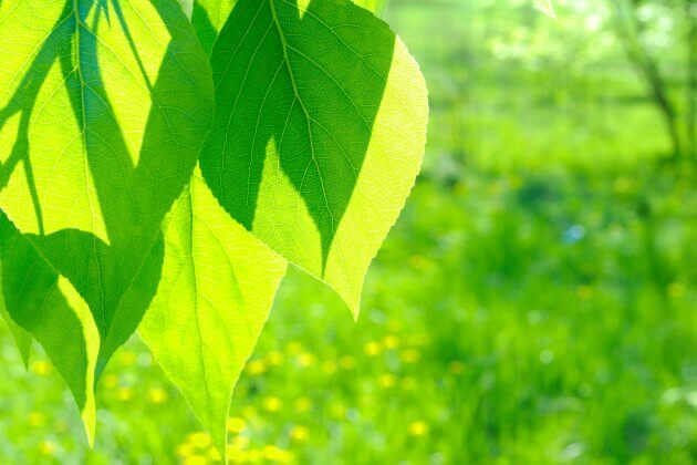 Pappel - Baumblätter für grüne Smoothies