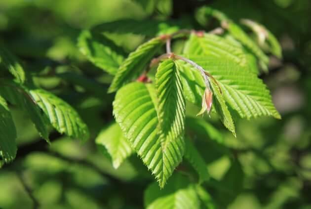 Ulme - Baumblätter für grüne Smoothies