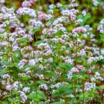 Buchweizen, Wildkräuter für grüne Smoothies
