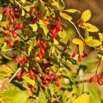 Berberitze, Wildkräuter für grüne Smoothies