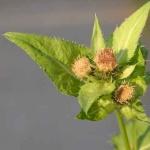 Kohldistel, Wildkräuter für grüne Smoothies