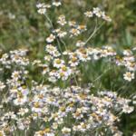 Balsamkraut, Wildkräuter Lexikon für grüne Smoothies
