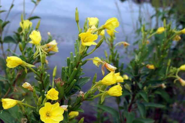 Nachtkerze Wildpflanze