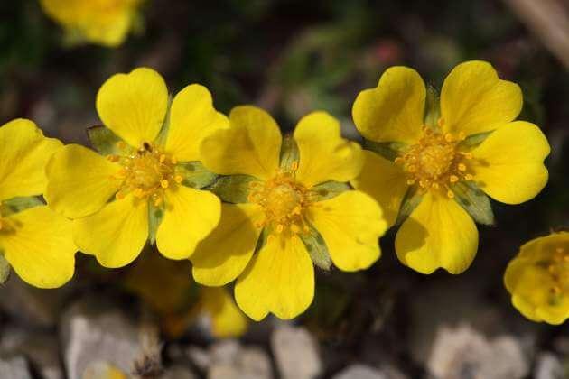 Fingerkraut Blüten