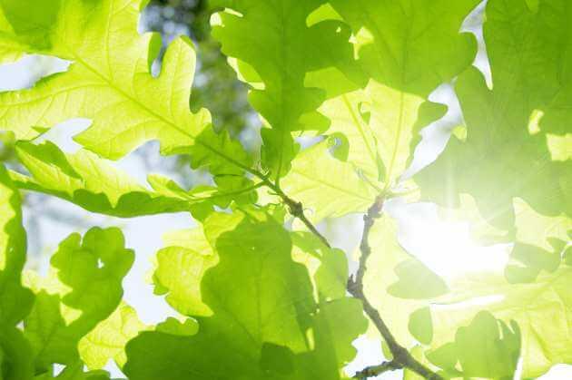 Eichenblätter für grüne Smoothies