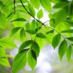 Esche, Wildkräuter Lexikon für Grüne Smoothies