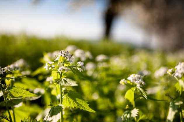 Knoblauchsrake für grüne Smoothies