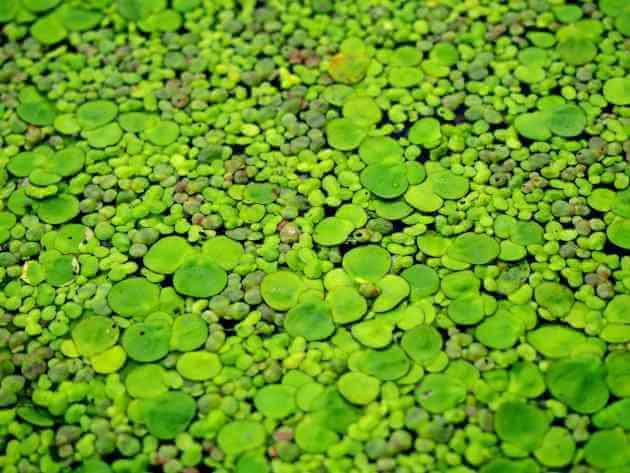 Wasserlinse für grüne Smoothies