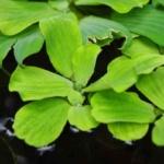 Wasserlinse, Wildkräuter Lexikon für Grüne Smoothies