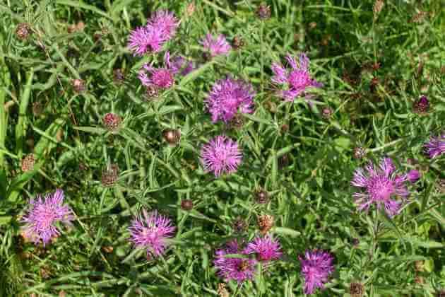 Wiesen-Flockenblume für grüne Smoothies