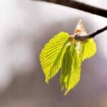 Hainbuche, Wildkräuter Lexikon für Grüne Smoothies