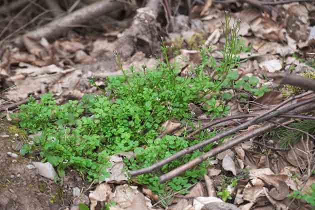 Behaartes Schaumkraut Wildpflanze