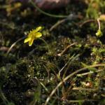 Sumpfkresse, Wildkräuter Lexikon für Grüne Smoothies