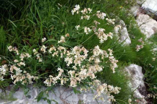 Taubenkropf-Leimkraut Wildpflanze