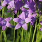 Wiesen-Glockenblume, Wildkräuter Lexikon für Grüne Smoothies