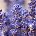 Lavendel, Wildkräuter Lexikon für Grüne Smoothies
