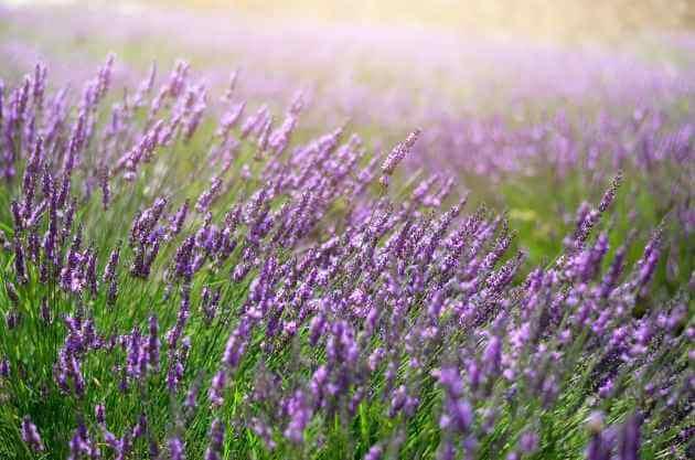 Lavendel grüne Smoothies